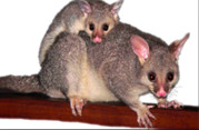 Rodent Pest Control - Canberra